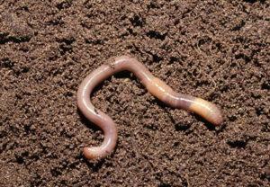 Земляной червь